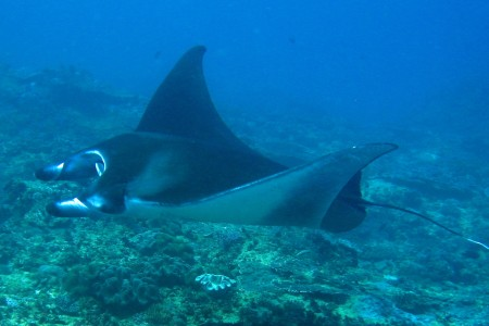 Mantarochen am Manta Point vor Bali